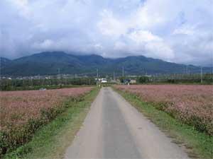 中川村の赤そば畑
