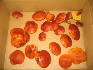 収穫したハナイグチ