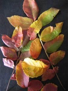 ヌルデの紅葉