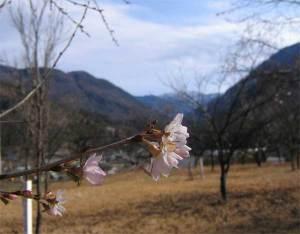 十二月桜-大鹿村・大西公園